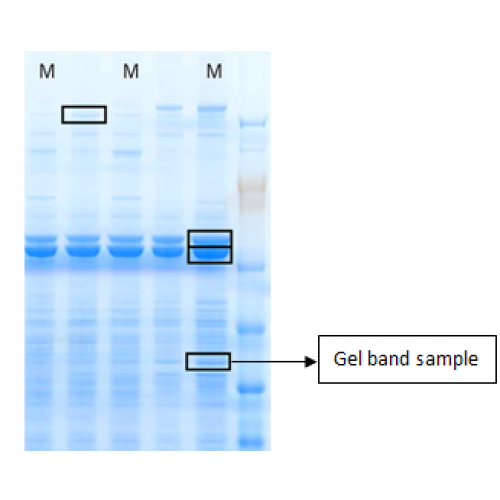 Protein Identification by Mass Spectrometry (LC/MS)